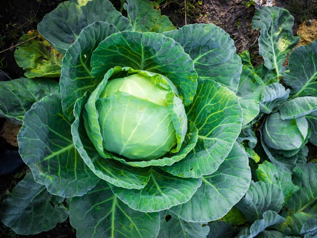 cabbage is a combative garden plant