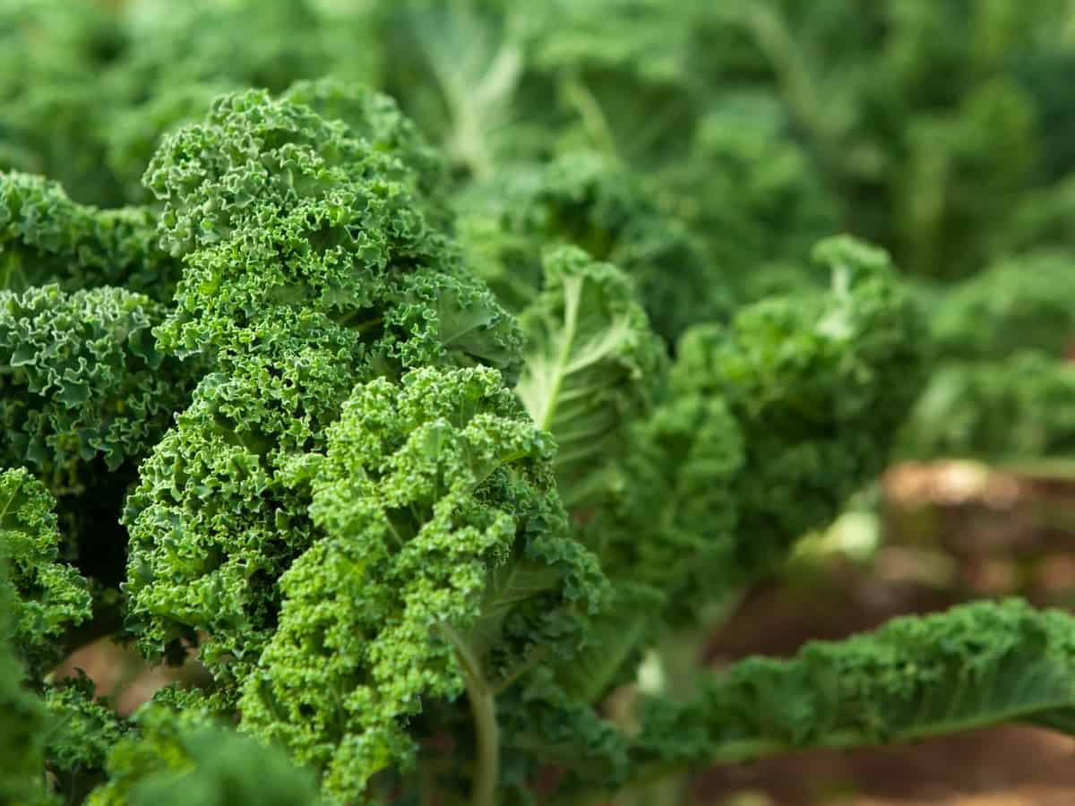 how to grow your own kale