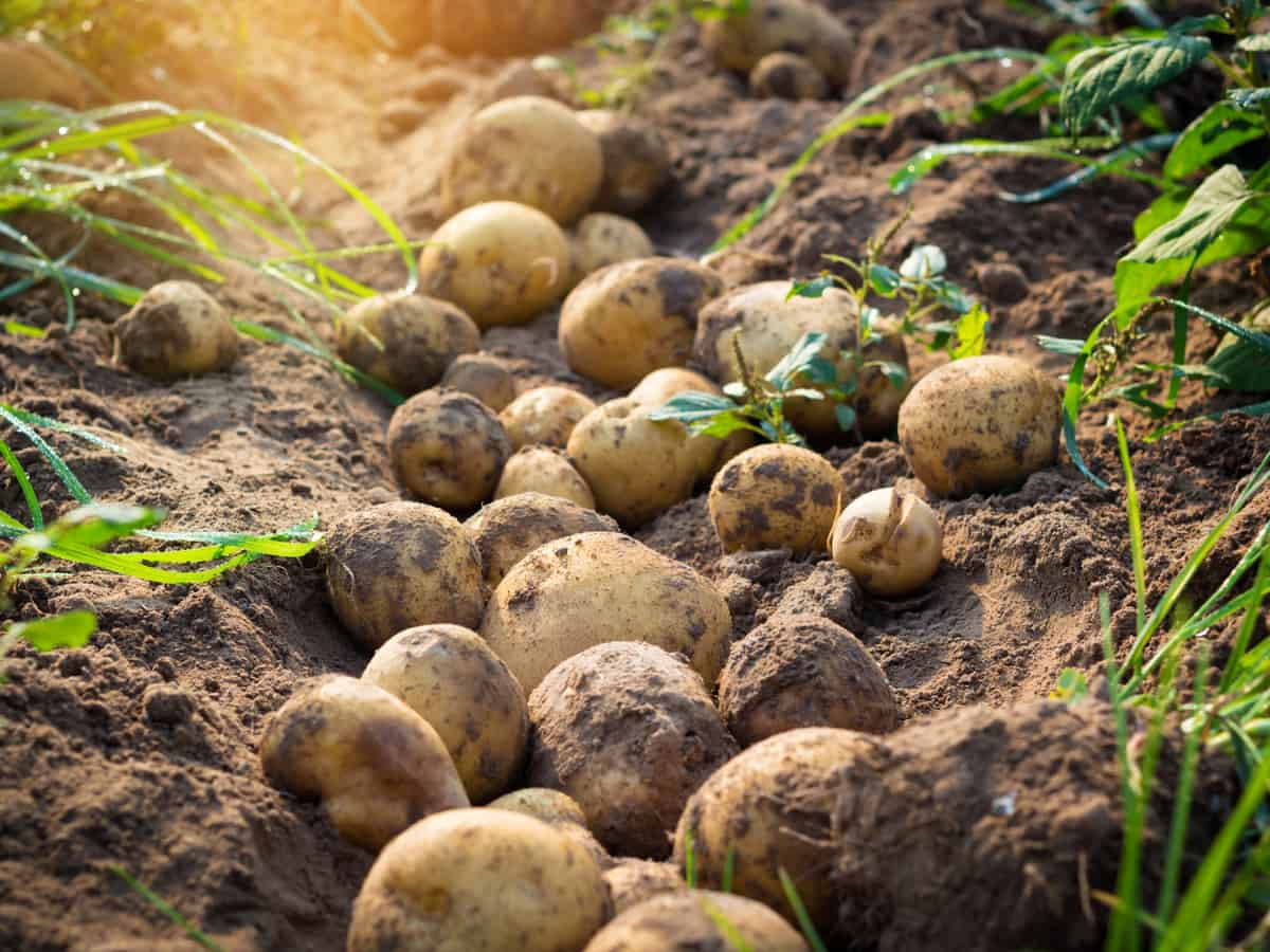 unearthing potatoes in the garden