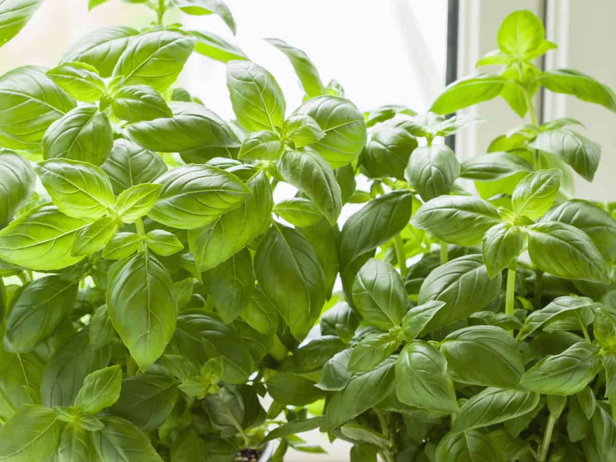 basil is an herb that repels many insects