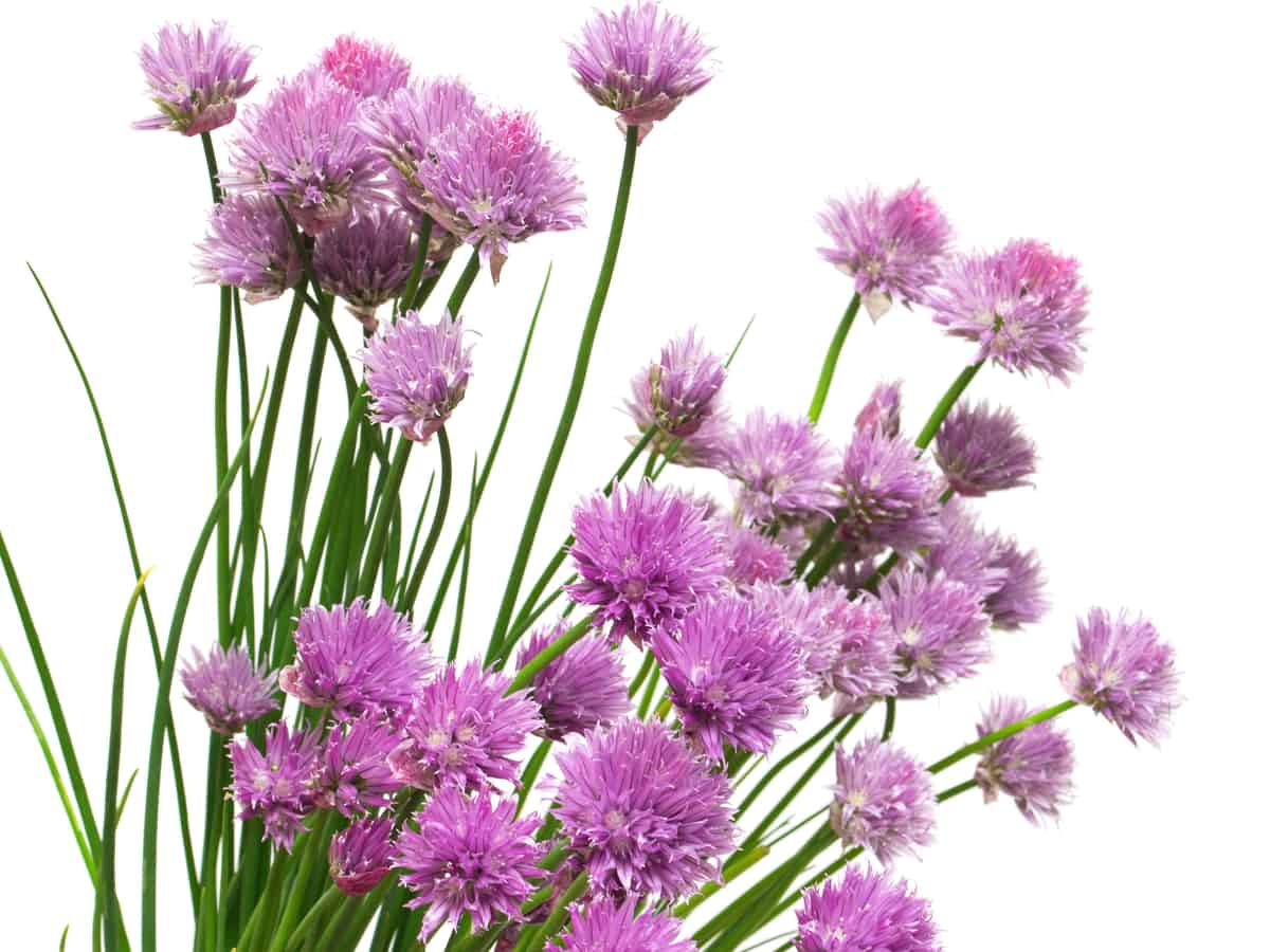 chives are one of the best plants that repel spiders and are for kitchen use too