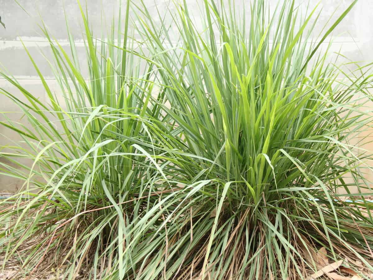 citronella grass or lemongrass repels spiders and mosquitoes