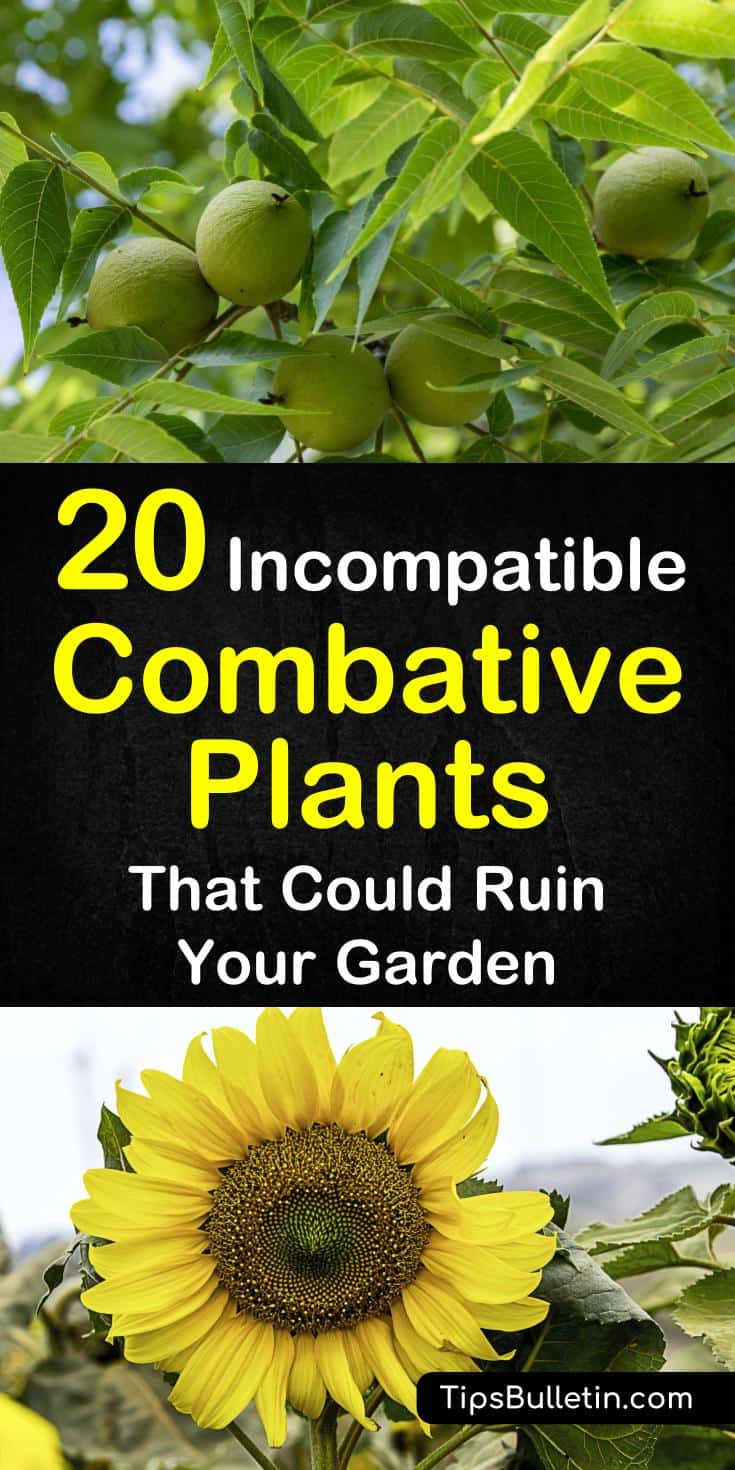 20 incompatible plants to not plant together when companion planting. Combative vegetables, fruits, trees, and herbs to keep separate in the garden. #companionplanting #combativeplants #plantsnotplantogether #fennelhasnofriends #incompatibleplants