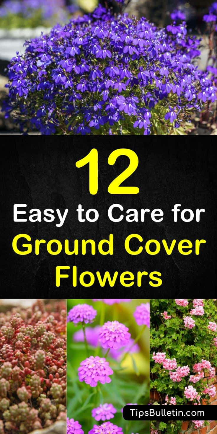 Found out about 12 brilliant ground cover flowering plants to brighten front yards and walkways. Learn about various perennials, like creeping phlox, that you can plant along pathways and in backyards to create a beautiful patio and house. #groundcover #floweringplants, #beautifulwalks #plants