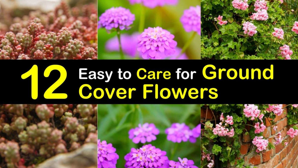 12 Easy To Care For Ground Cover Flowers