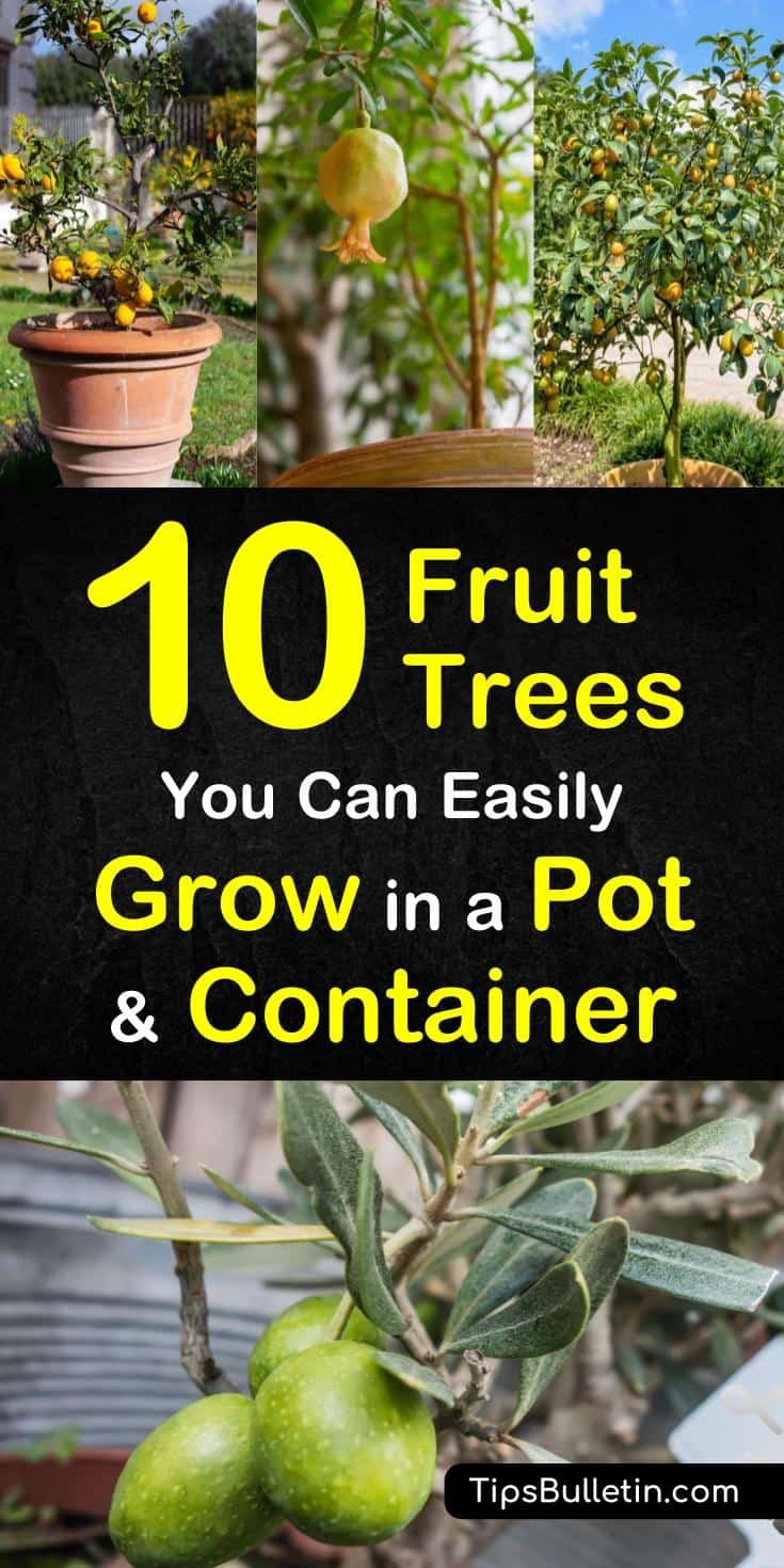 Here are 10 fruit trees you can easily grow in a pot or container if you're dealing with small spaces. With ever shrinking backyards, learn how to grow plants in containers and pots. You can grow fruit trees from seed in containers and pots. #containerplants #growtrees #fruittree #fruittreesinpots