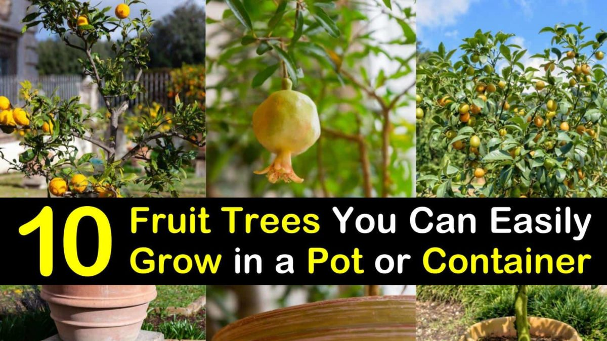 10 Fruit Trees You Can Easily Grow in a Pot or Container