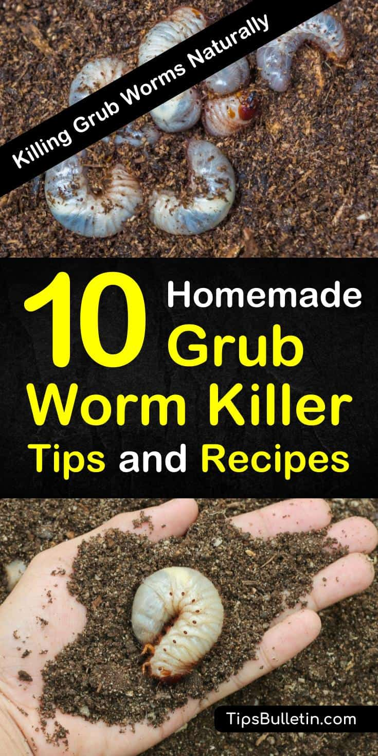 Learn how to get rid of grubs worms, the larval of Japanese beetles before they can destroy your plants and lawn. These common garden pests, if left unchecked will kill your yard. Discover homemade grub killer tips and recipes to deal with these common insects. #grubworms #killgrubworms #nomoregrubs