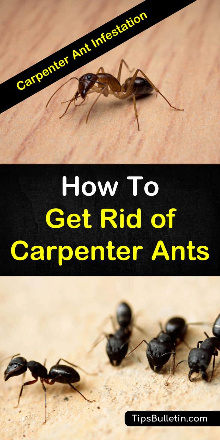 Learn how to get rid of carpenter ants naturally with these home remedies. The DIY pest control methods will help you deal with a carpenter ant infestation in the house. Learn how to use vinegar to deter ants and which plants will keep them at bay. #carpenterants #nocarpenterants #killcarpenterants