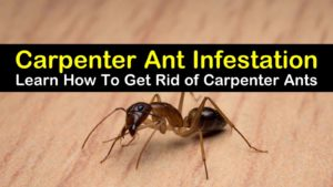 how to get rid of carpenter ants titleimg1