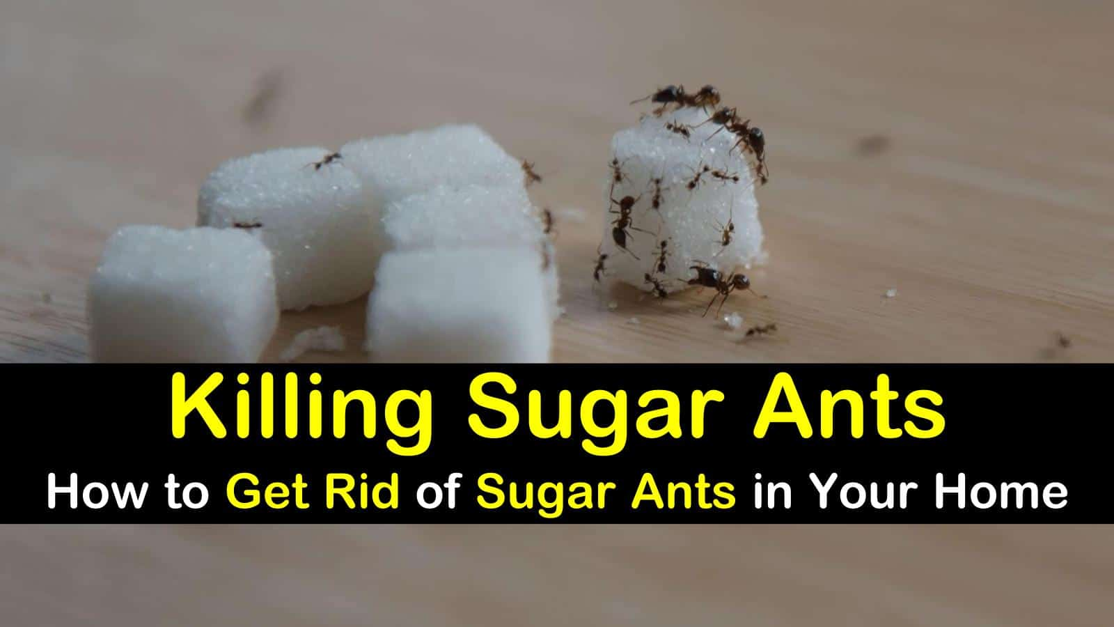 killing sugar ants how to get rid of sugar ants in your home. Black Bedroom Furniture Sets. Home Design Ideas