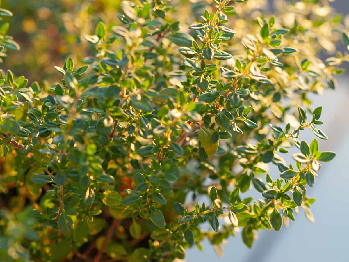 lemon thyme works well to repel spiders and other insects