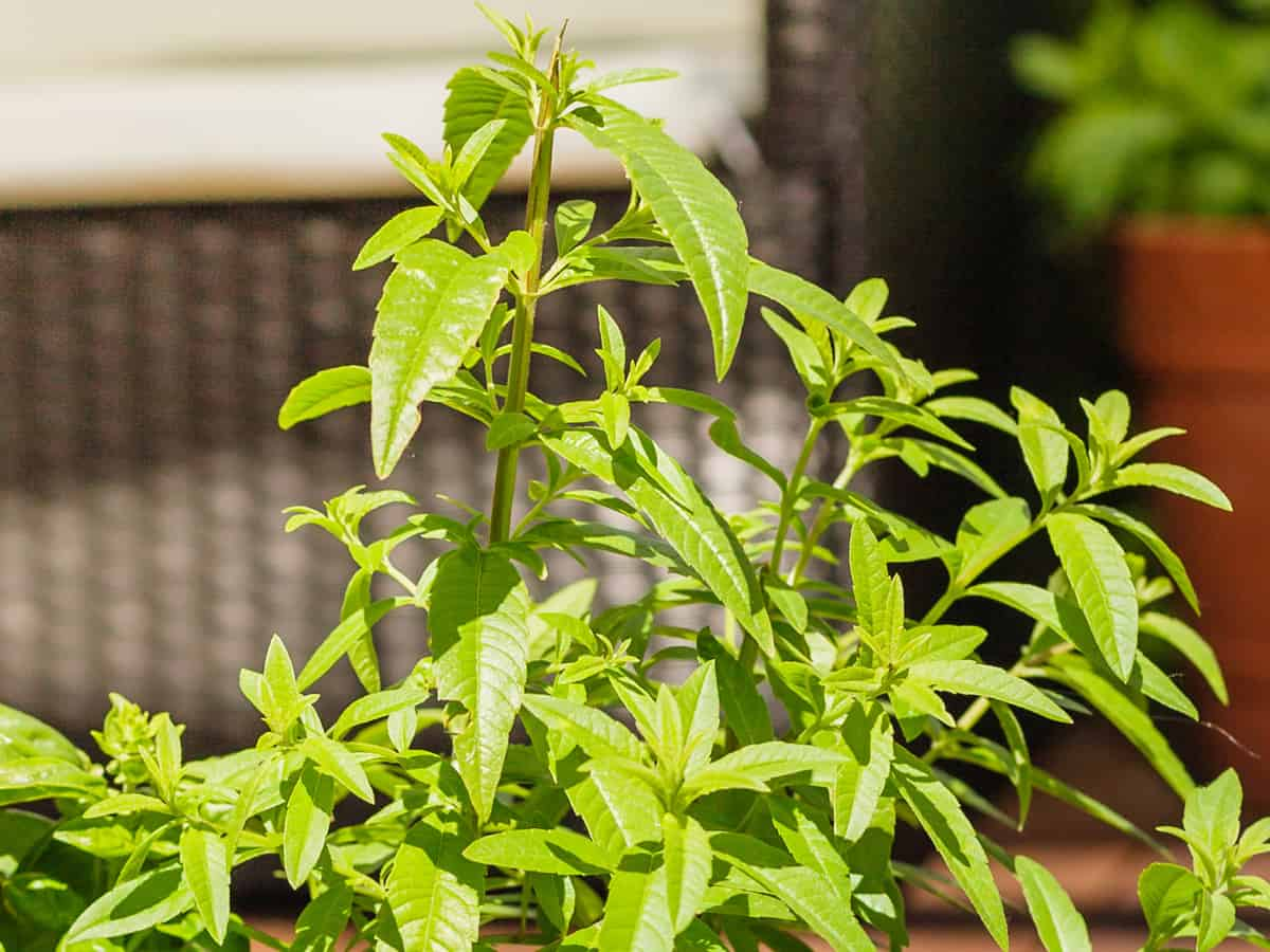 lemon verbena prefers full sun for optimum growth