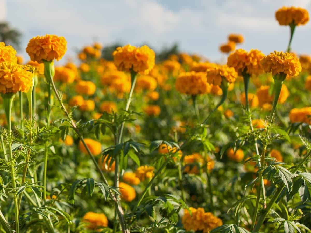 marigolds keep spiders and rabbits away from the garden