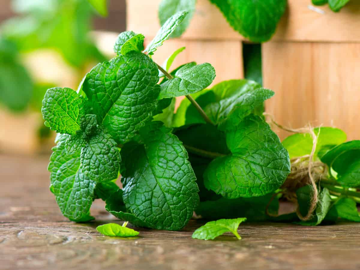 there are many different types of mint