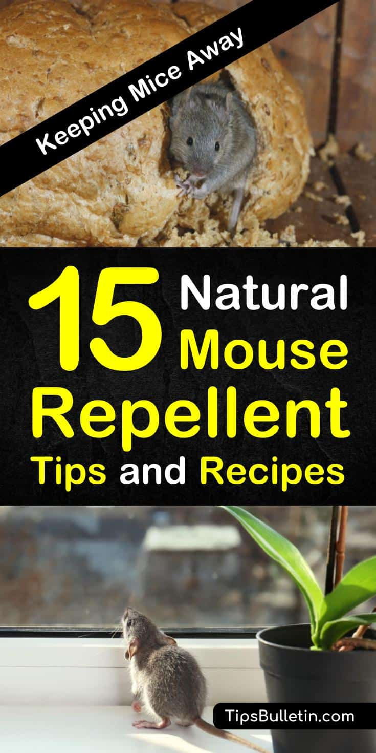 Find out 15 effective natural mouse repellents using affordable ingredients. Learn how to use essential oils such as peppermint and other natural homemade remedies to keep your home rodents free. #mouserepellent #DIY #PestControl #Rodents #mice