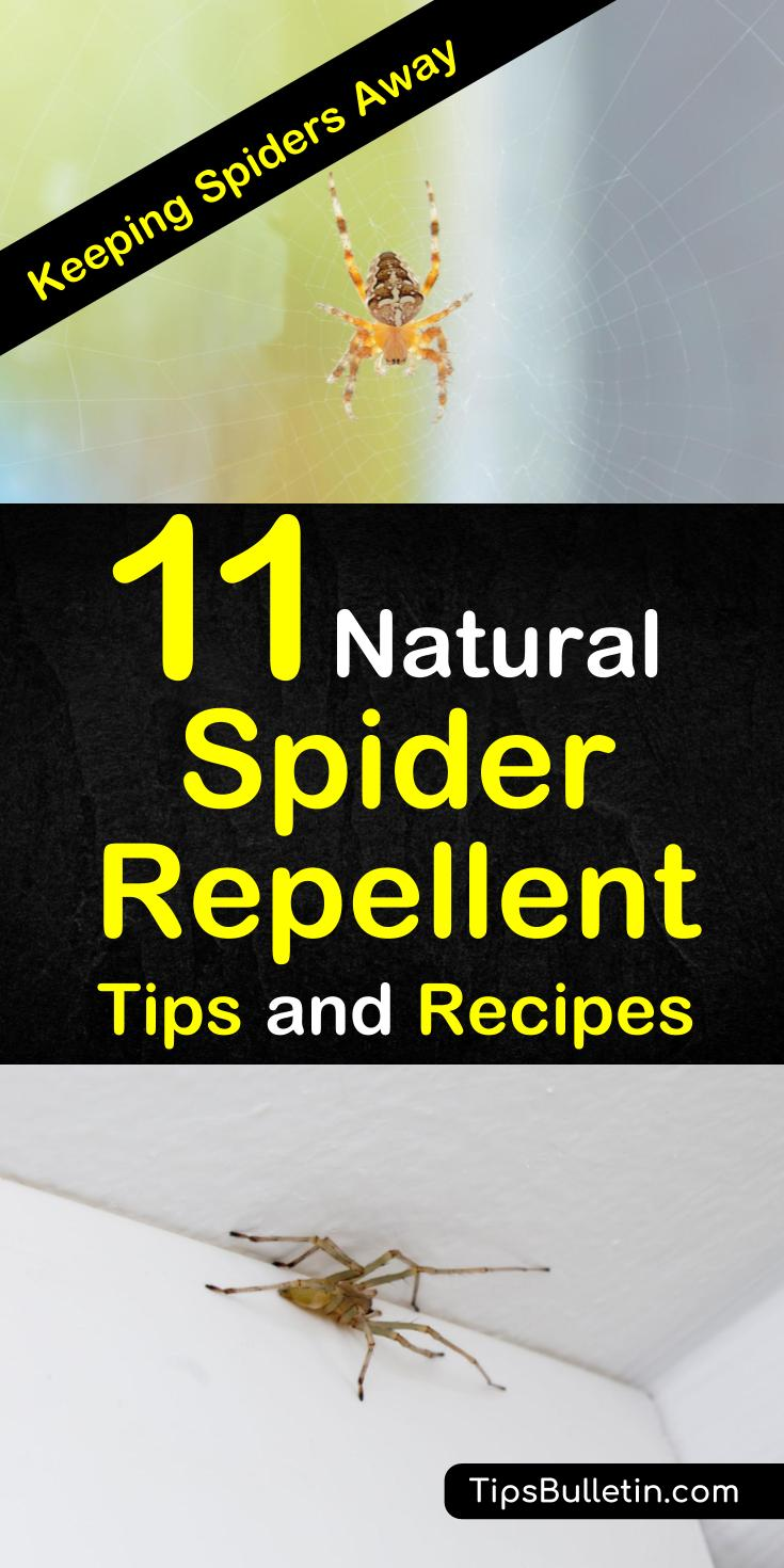 Learn about the different sprays and essential oils that you can use around your home for pest control. These diy recipes are perfect for home and for garden and will keep your house free of spiders and chemicals #naturalpestcontrol #diyspiderrepellent #spiders