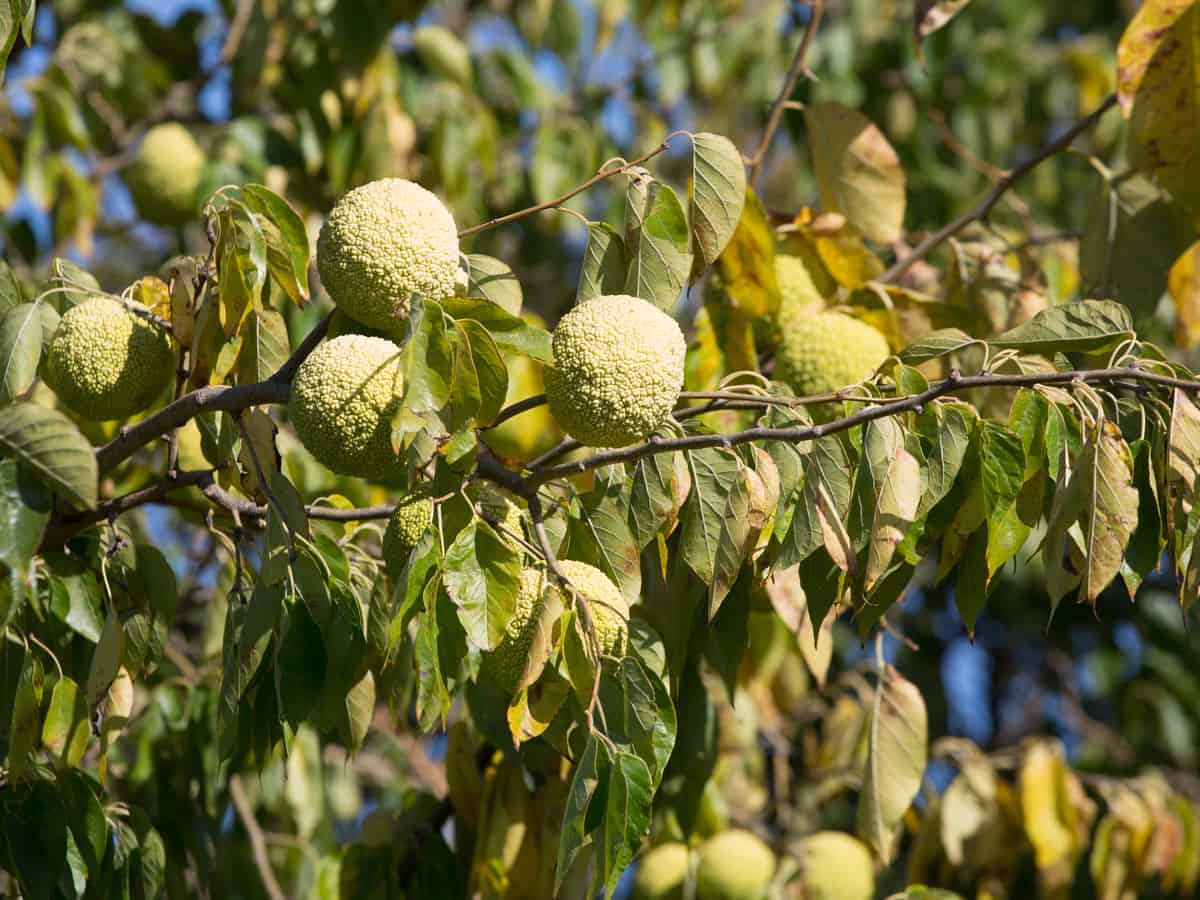 the osage orange is also known as a hedge apple