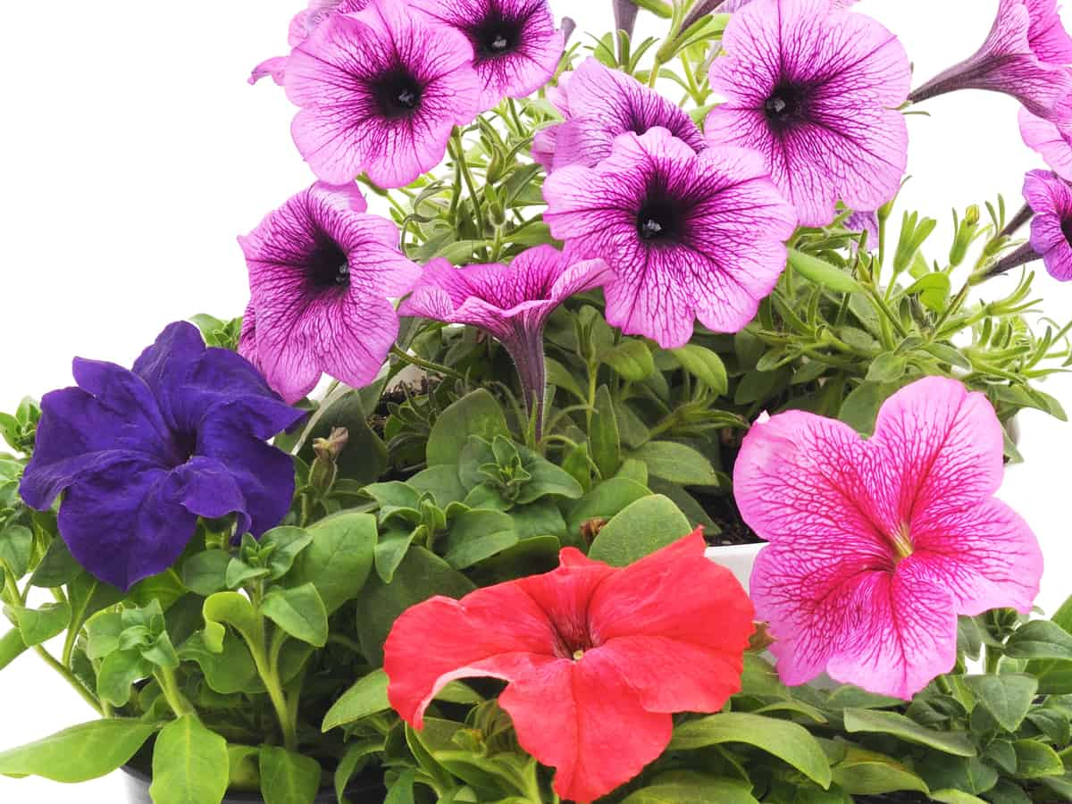 petunias come in a wide range of colors