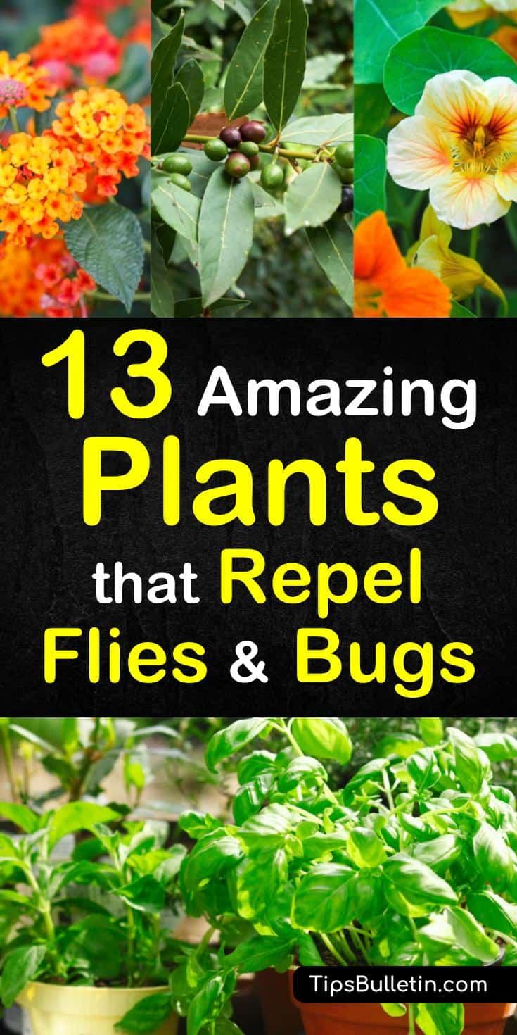 Discover the 13 best plants that repel flies and bugs and enjoy your patio and backyards more this summer. These plants work as a natural pest control method to repel mosquitos and other insects from yards and gardens. #repelinsects #plantsforpestcontrol #plantsthatrepelbugs