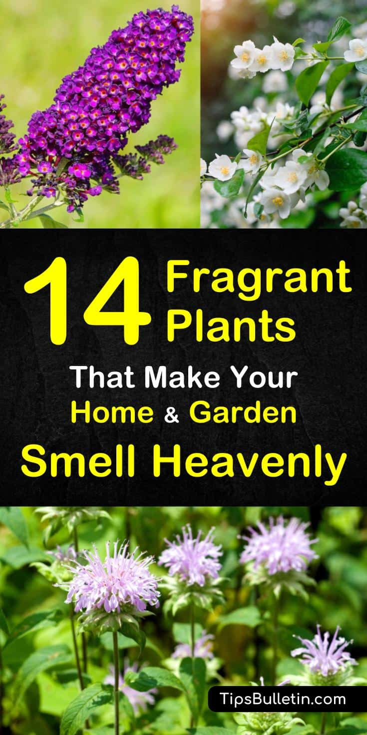 Learn about these 14 plants that smell amazing. Bring a beautiful fragrance into your home with these awesome natural gardens. Whether they are planted indoor or in yards, these fragrant plants will fill your house with year-round fragrance. #fragrantgarden #herbsgarden #plants #gardening
