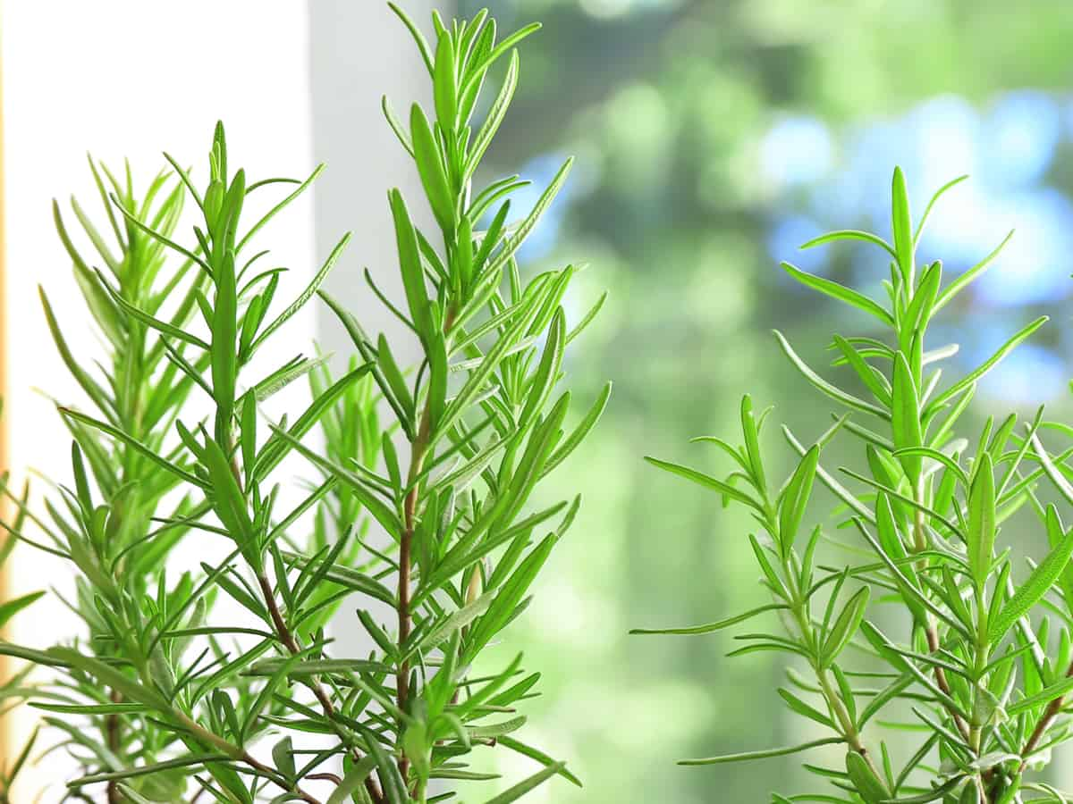 rosemary is one of the best spider repelling plants