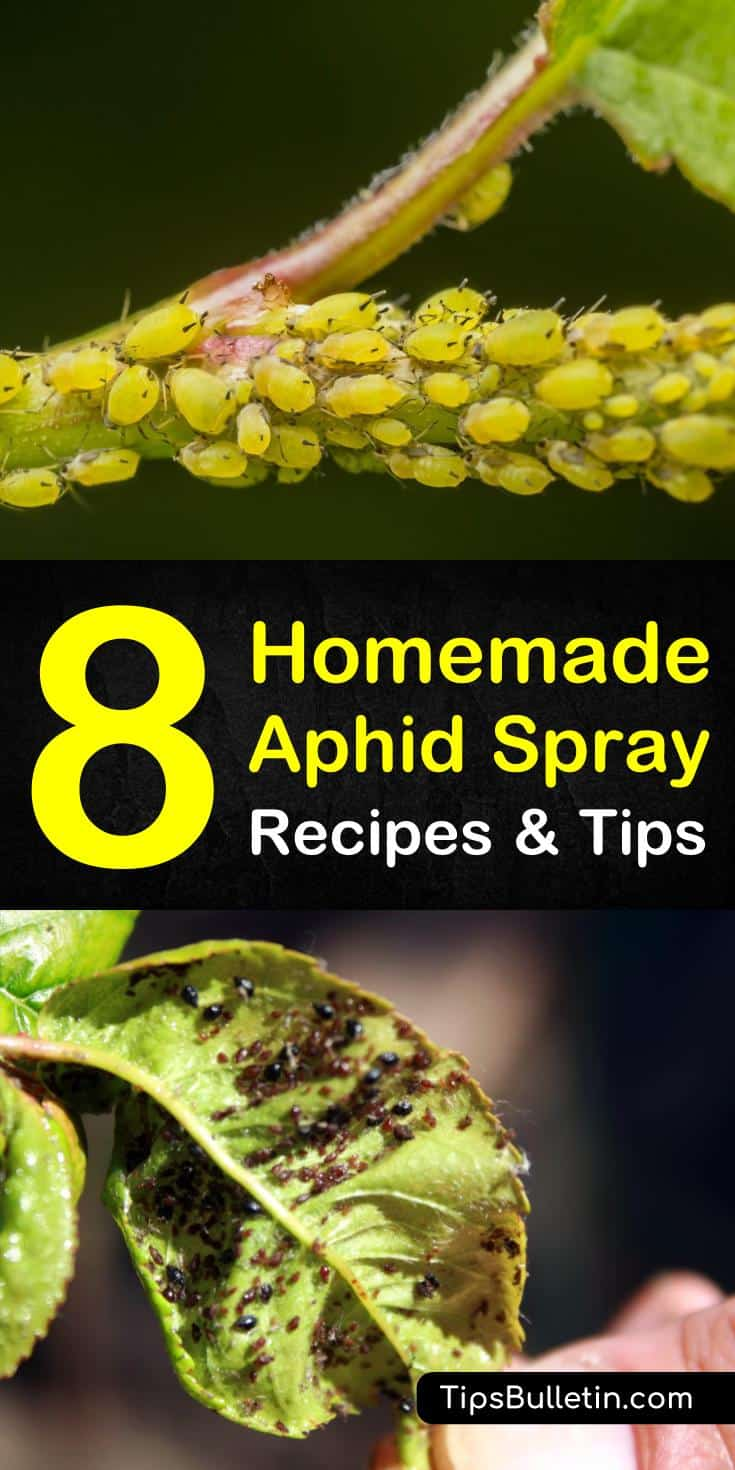 Discover 6 amazing homemade recipes and tips on organic garden pest control. If you have aphids and spider mites on your roses and plants eating the leaves, you can use ingredients you have around your house to get rid of them, like water. #killaphids #diy #pestcontrol #aphids