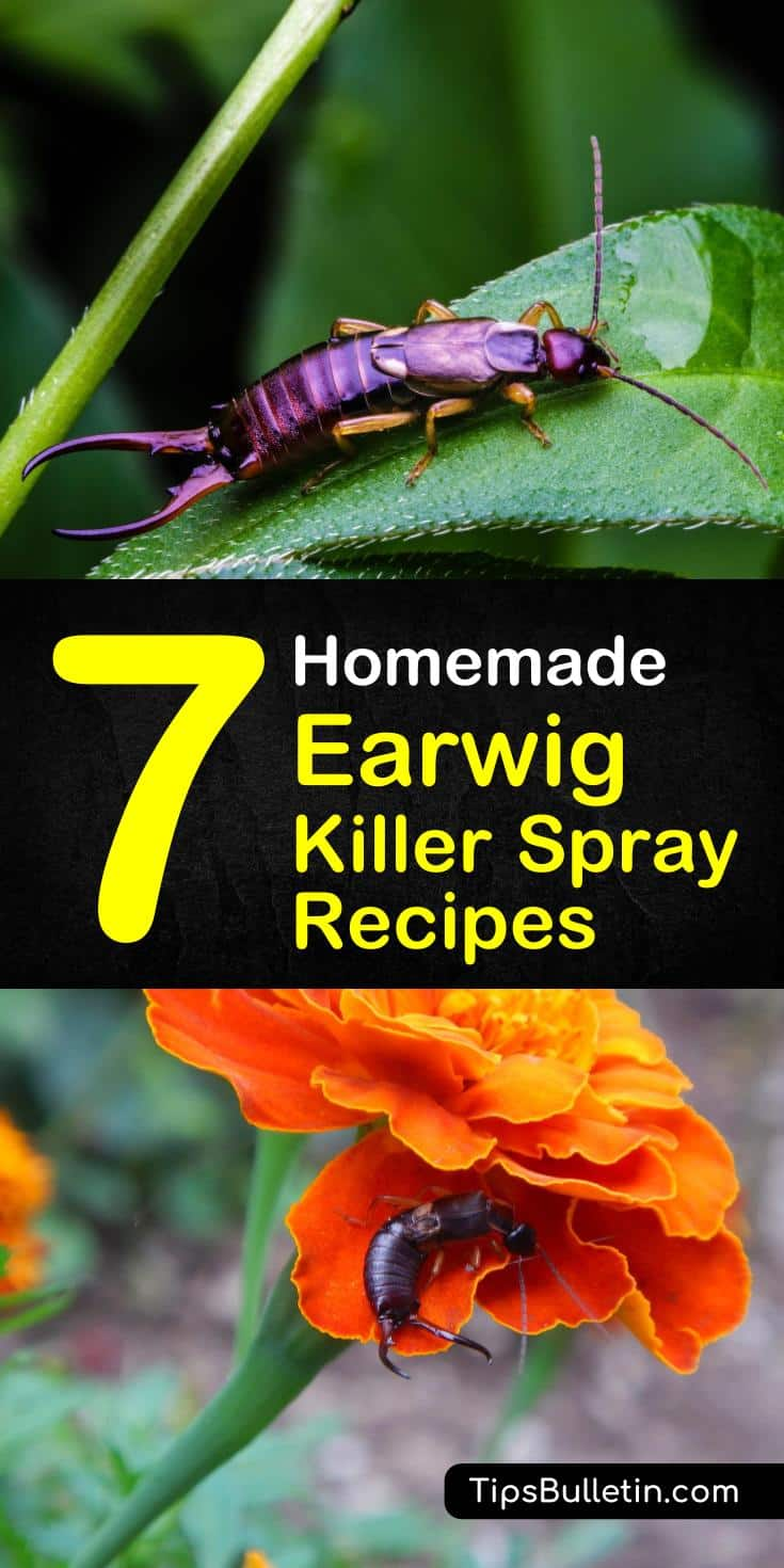 Discover 7 homemade earwig killer spray recipes and tips using simple ingredients to produce time efficient and inexpensive solutions. If you have earwigs swarming through your plants and nibbling on all of your plants, look no further than these natural earwig repellents. #earwig #earwigkiller