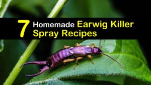 homemade earwig killer spray titleimg1