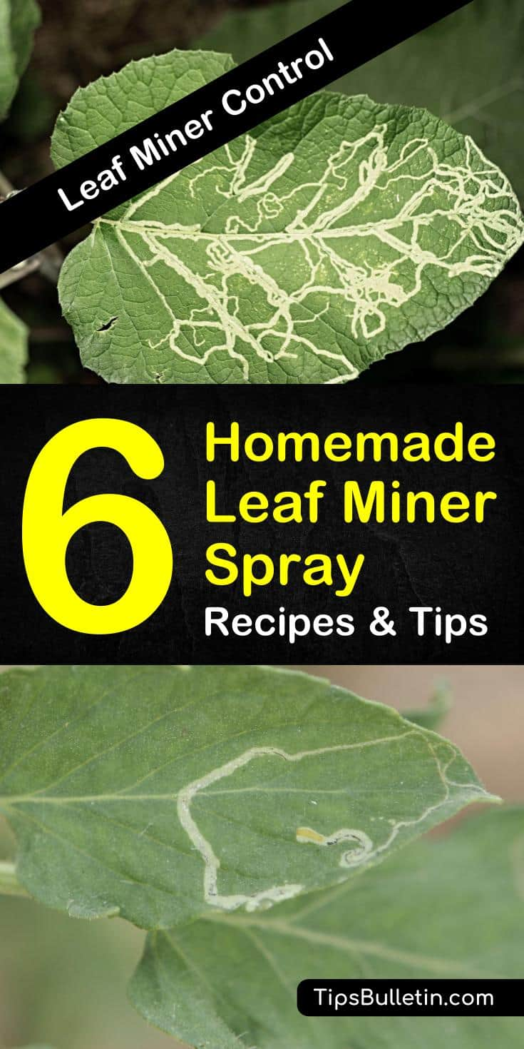 Discover how to create a homemade leaf miner killer recipe to save your plants from leaf miner larvae. Mix ingredients like vegetable oil and dish soap to create the perfect solution to your leaf miner problems. #leafminer #diyrecipe