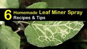 homemade leaf miner spray titleimg1