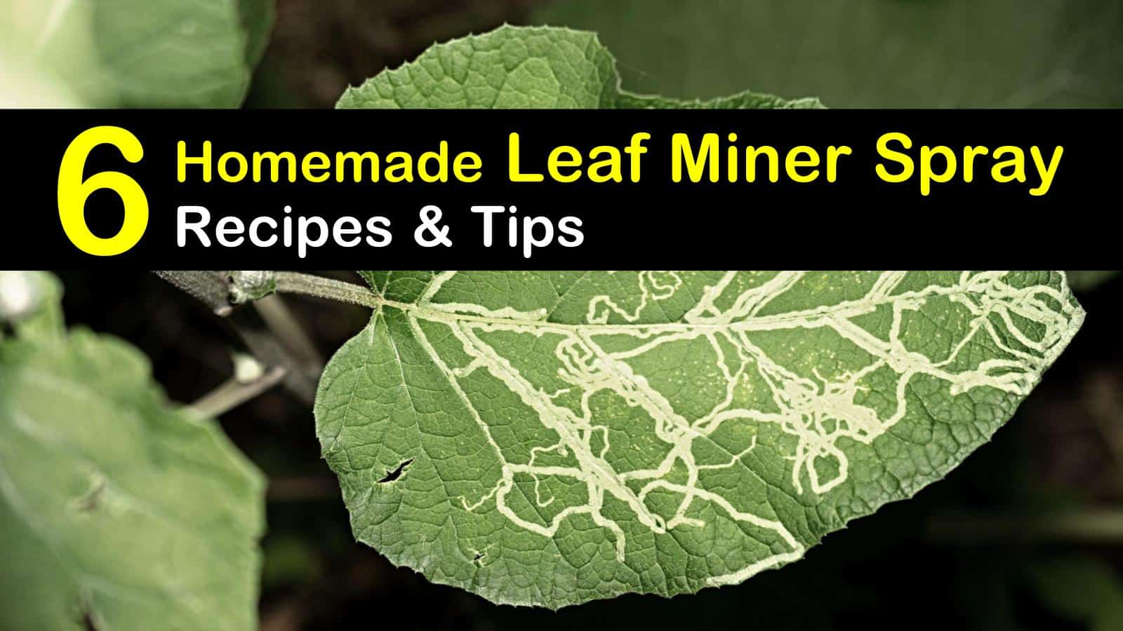 homemade leaf miner spray titleimg1