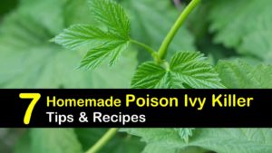 homemade poison ivy killer titleimg1