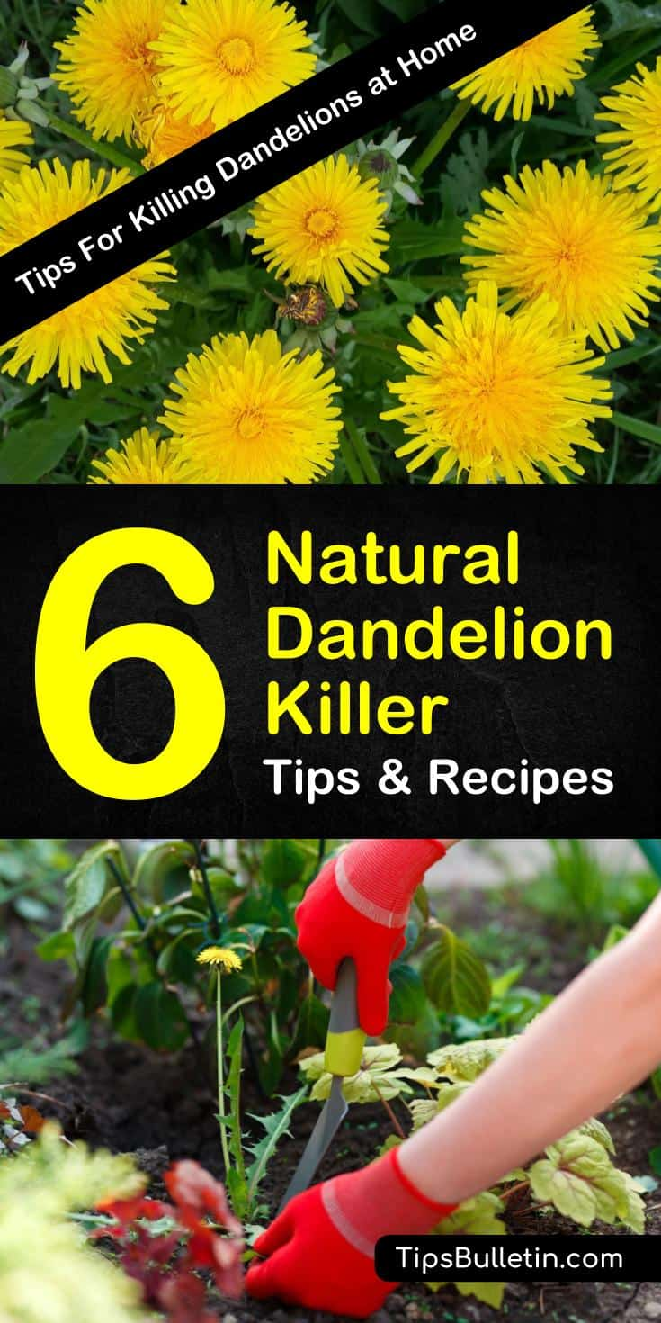 Useful Tips To Make Your Everyday Life Just A Bit BetterTry these 6 DIY recipes to easily make a natural dandelion killer. Find out how you can use white vinegar, dish soap, and other common household products to get rid of dandelions for lawn or garden use. #dandelionfreelawn #dandelionkiller