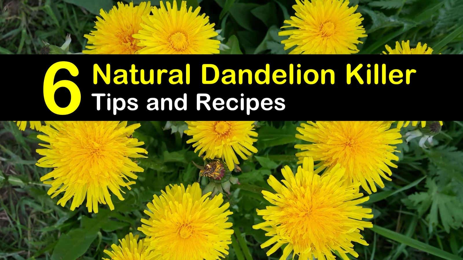 natural dandelion killer titleimg1