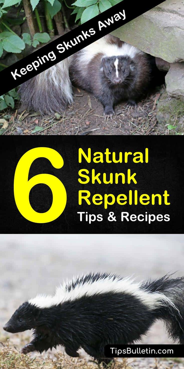 Rather than worry about what to do if and when you or your pet gets sprayed by a skunk, start with these natural skunk repellent tips. This way, you won't need to treat yourself or Fido to a tomato juice spa day. #skunkrepellent #naturalrepellent #skunkfreeyards