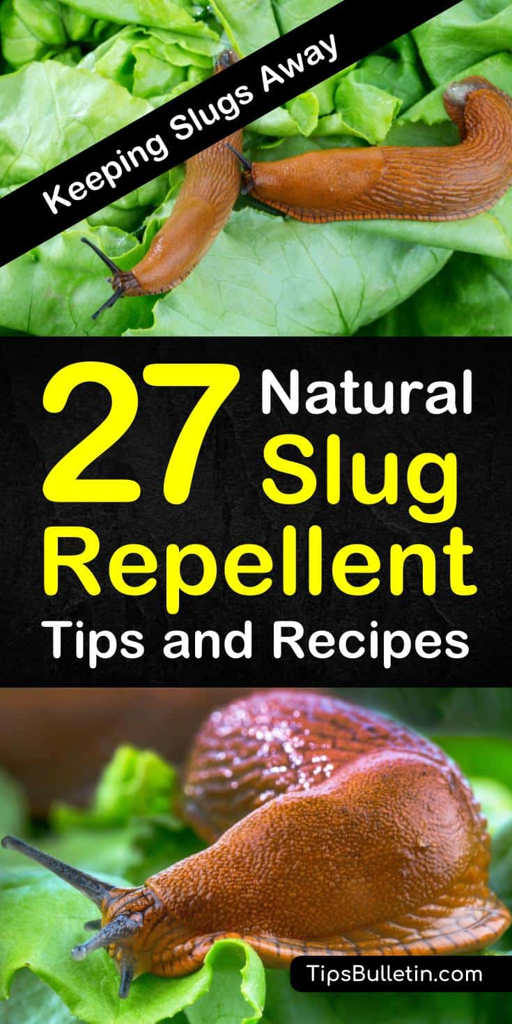 Discover how to use homemade, natural snail repellent tips to protect your plants and gardens against slugs. Use pest control tactics like eggshells and wood pellets to act as a natural slug repellent. #slugrepellent #snailkiller