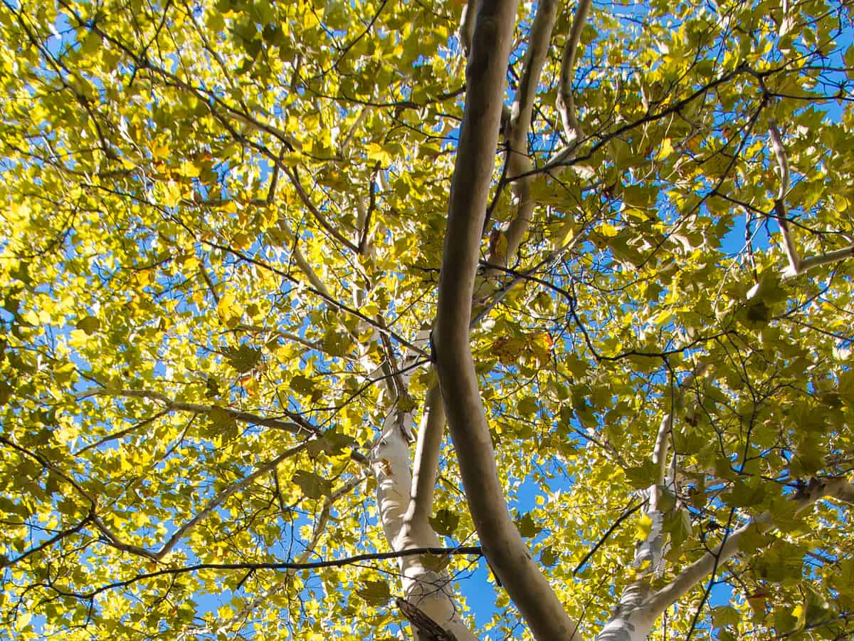 American sycamore grows six feet a year