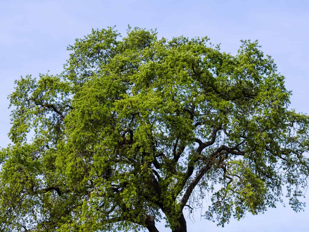 California white oak lives a long time