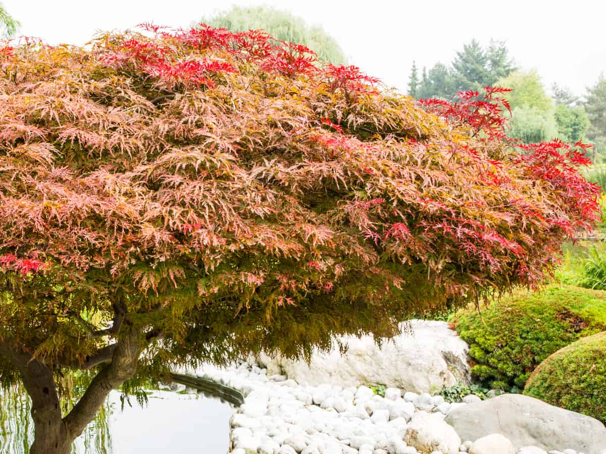Japanese maple has vibrant red leaves