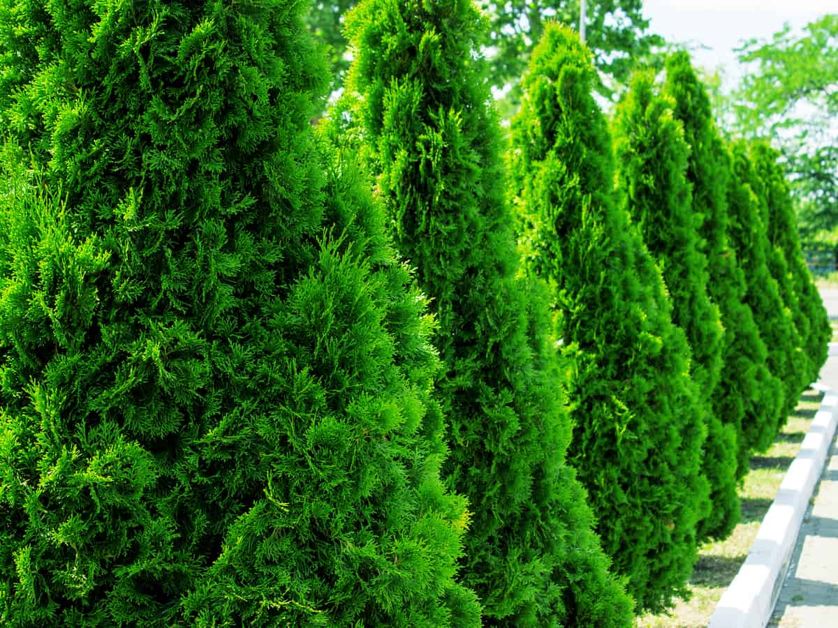 Thuja green giant is a great hedge plant