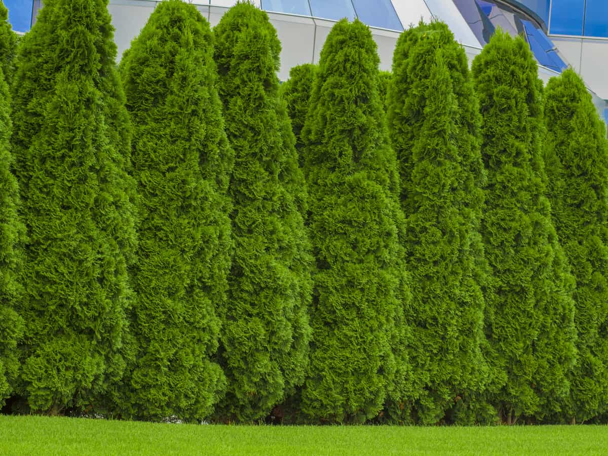 thuja green giant makes an excellent privacy hedge