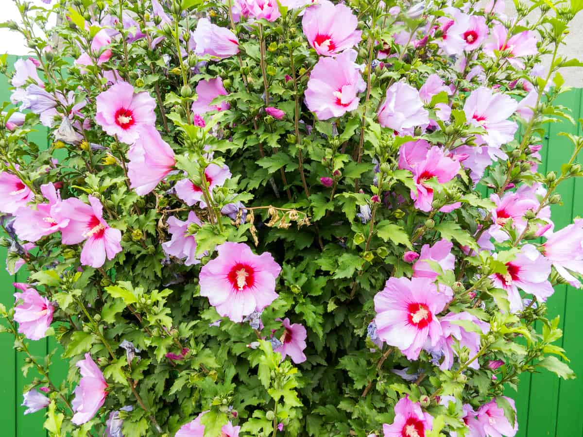 althea or rose of Sharon offers beauty and privacy