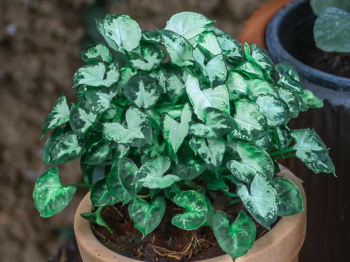 arrowhead forms a vine as it ages