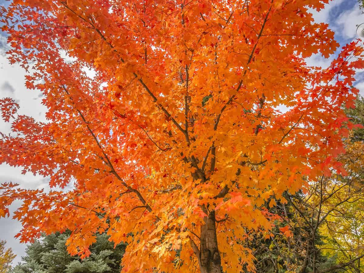 autumn blaze maple tree grows three feet a year
