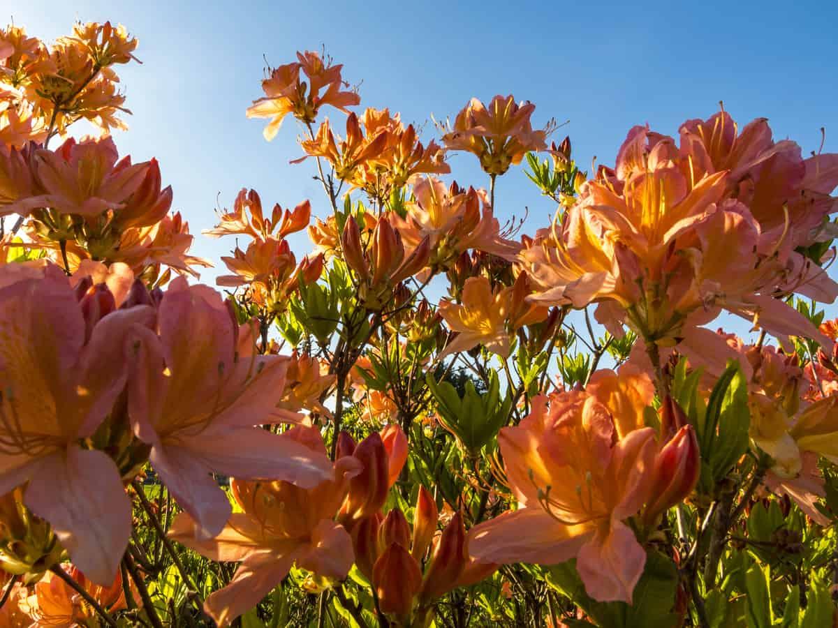 azaleas are a beautiful border plant