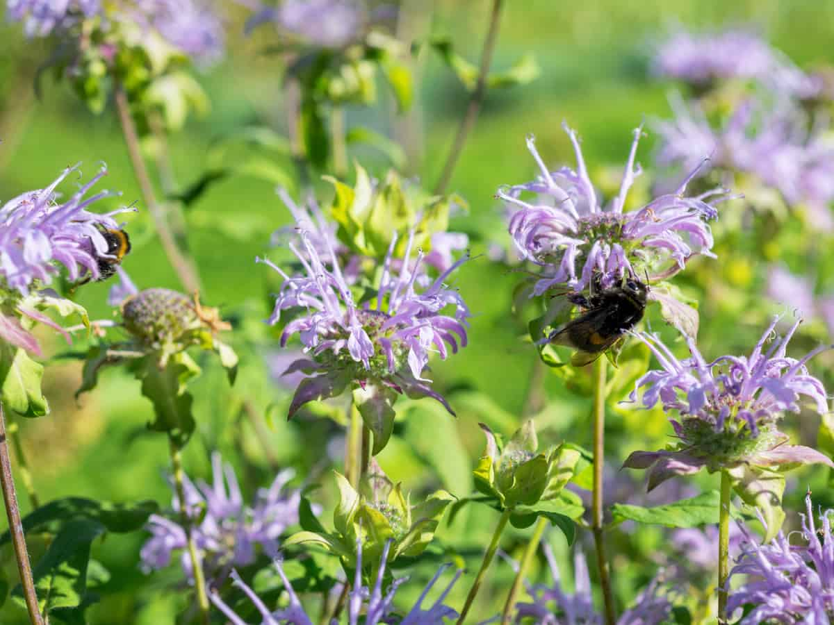 bee balm attracts bees but not mosquitoes