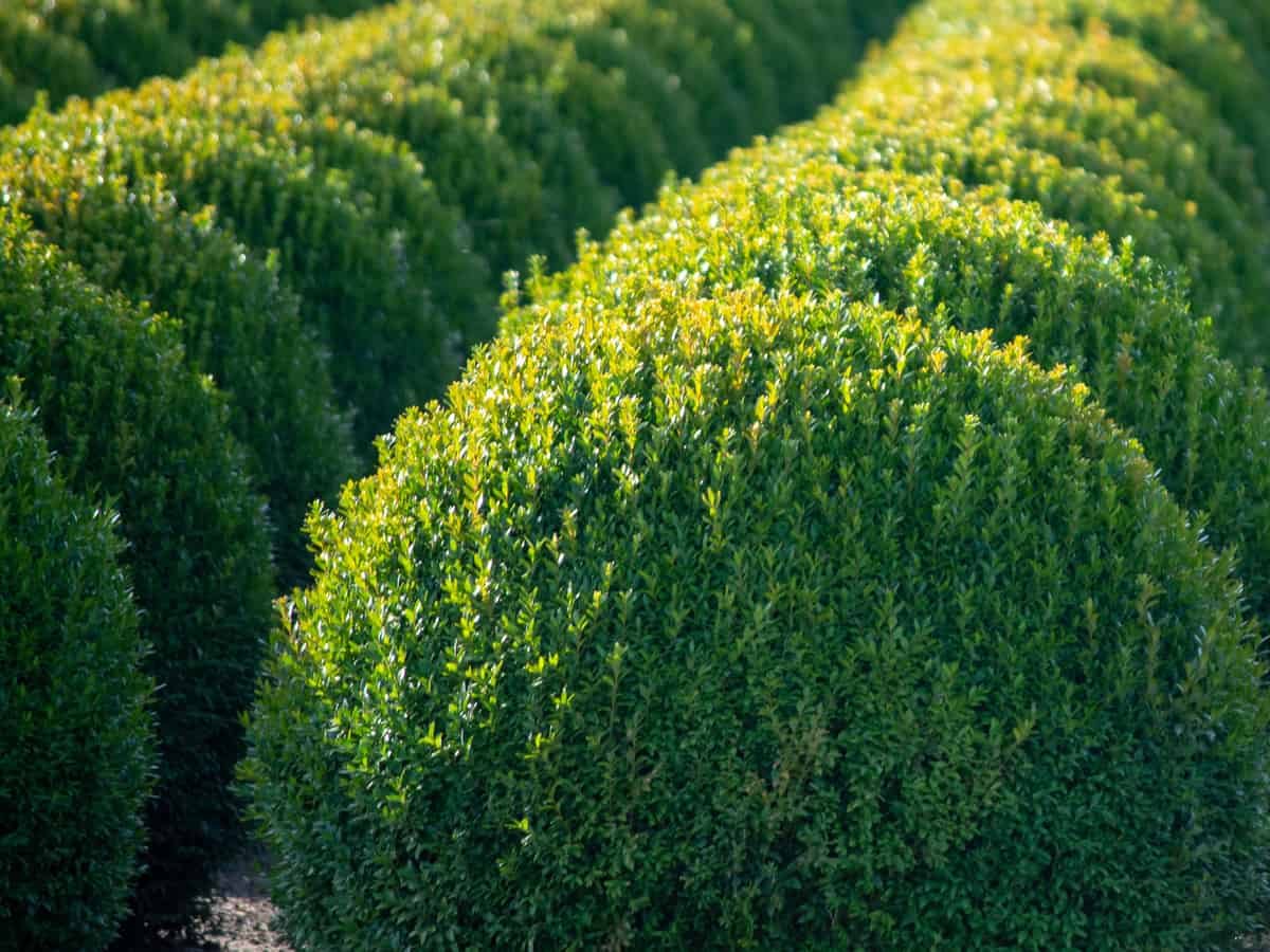 boxwood is low maintenance