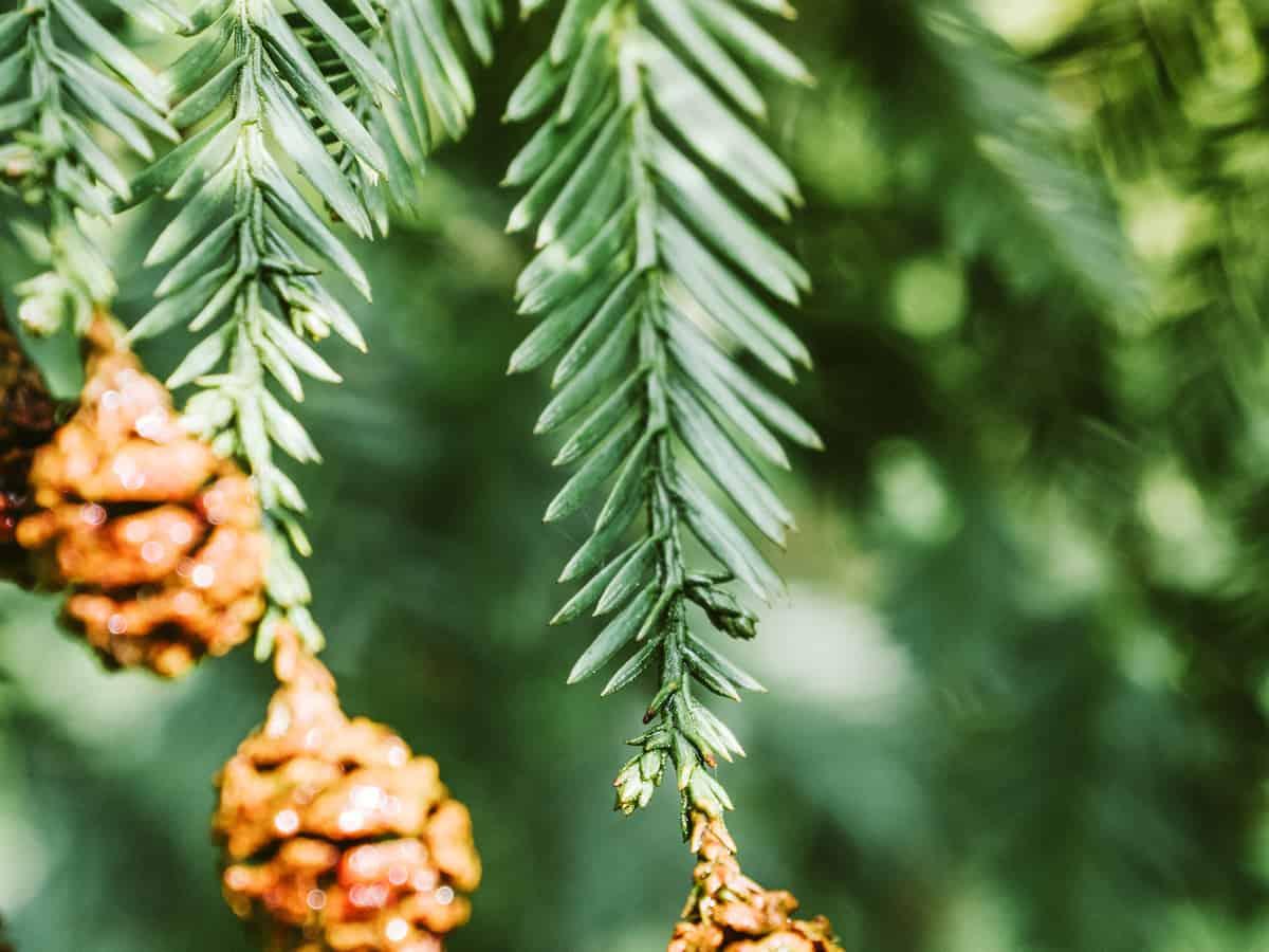 Canadian hemlock is an attractive evergreen