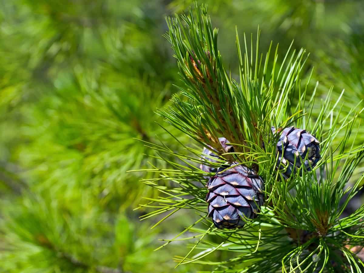 cedar tree as a mosquito repellent
